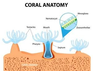 Diagram of a coral polyp formation