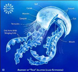 Jellyfish anatomy facts and information private scuba adult jellyfish anatomy diagram ccuart Gallery