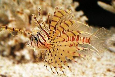 Lionfish Facts and Species Information
