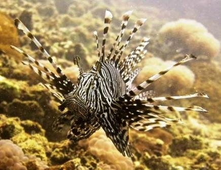 The Lionfish is a spectacularly photogenic species