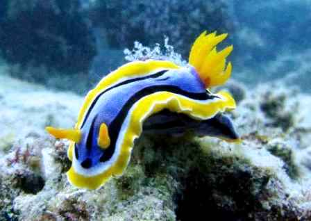 Nudibranch Sea Slug Facts | Nudibranchia Information