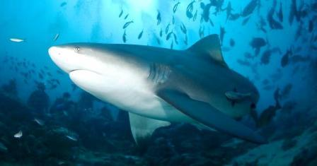 A Picture of a Bull Shark [Carcharhinus leucas]