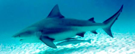 Picture Shows what a Bull Shark Looks Like