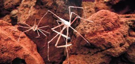 Sea Spiders Facts and Species Information