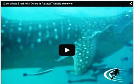 Whale Shark Spotted at Pattaya Islands